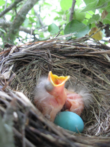 baby-bird-Next2_blye-robin-egg
